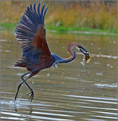 Goliath Heron (Ardea goliath), Sub-Saharan Africa  (Photo: Elsie Vanderwalt)