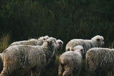 #sheeps