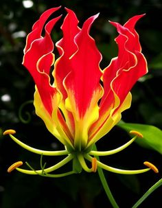 Gloriosa - Nature imitating nature - Flower imitates fire... beautiful!