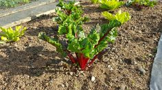 Swiss chard growing well in my garden / allotment where I am growing my own fruit, vegetables and cut flowers.