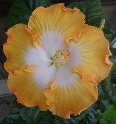 Hibiscus - California Sun