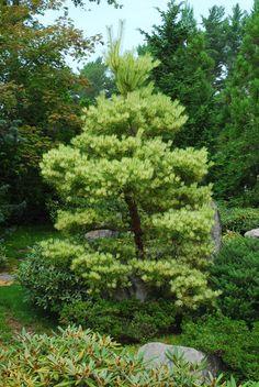 Pinus densiflora ' Oculus Draconis ' Variegated Japanese Red Pine