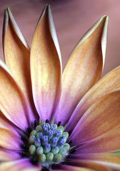 african daisy macro by TruemarkPhotography