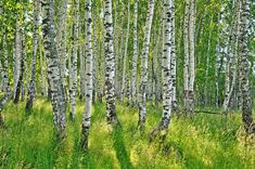 Find Birch Forest Birch Grove White Birch stock images in HD and millions of other royalty-free stock photos, illustrations and vectors in the Shutterstock collection. Thousands of new, high-quality pictures added every day. Forest Grove, Birch Forest, Images Of Summer, Shinrin Yoku, Photo Editing, Royalty Free Stock Photos, Outdoor Structures, Illustration, Plants
