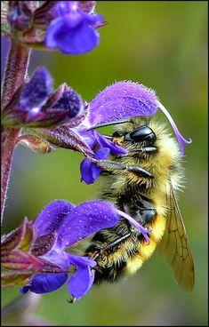 Fleur violette et abeille, qui butine, magnifique, c'est doux, c'est beau, la magie de la nature!