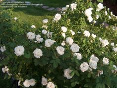 Full size picture of Damask Rose 'Madame Hardy' (Rosa)