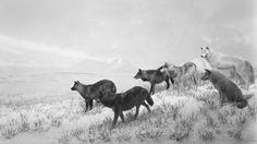 Alaskan Wolves [Lobos de Alaska], 1994 - El gran Hiroshi Sugimoto, en Barcelona - 20minutos.es