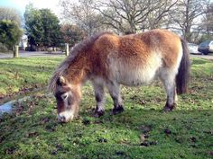 New Forest Pony - England  They are wild and r fun to look at :)
