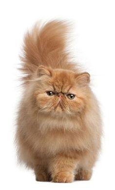 Персидская кошка – пушистое и благородное создание