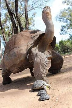 "Say hello to these beauties, Galapagos tortoise! This mamma hatched 2 endangered tortoises :( They hatched in Austria in the ""Taronga Western Plain Zoo!"" These little ones emerged from their shells on Jan and Please keep on breeding ❤ Nature Animals, Animals And Pets, Baby Animals, Funny Animals, Cute Animals, Wild Animals, Beautiful Creatures, Animals Beautiful, Reptiles Et Amphibiens"