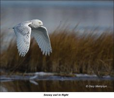 Snowy Owl in flight near Lake Winnipesaukee, NH Snowy Owl, Art Festival, Colour Images, New Hampshire, Bird Feathers, Wildlife Photography, Pet Birds, Animals And Pets, New England