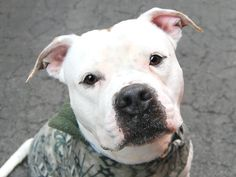 TO BE DESTROYED - 03/25/15 Manhattan Center   My name is CHICO. My Animal ID # is A1030667. I am a male white and brown american staff. The shelter thinks I am about 2 YEARS old.  I came in the shelter as a OWNER SUR on 03/18/2015 from NY 10024, owner surrender reason stated was NYCHA BAN. https://www.facebook.com/photo.php?fbid=982342151778664