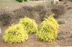 Sungold Cypress