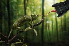 """Just a chameleon action shooting with bait-lens by John Wilhelm on """"And of course I had to play a little bit with levels in Photoshop to get this image ; Funny Animal Pictures, Funny Animals, Cool Pictures, Cute Animals, Hilarious Pictures, Chameleon Tattoo, Photo Awards, Mundo Animal, Funny Animal Humor"""