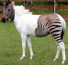 white zebra partial albino