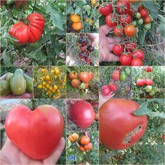 коллаж из различных сортов помидор
