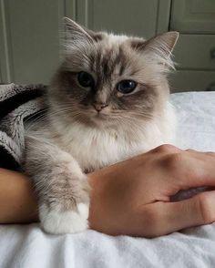 Cute Baby Cats, Cute Little Animals, Cute Cats And Kittens, Kittens Cutest, Fluffy Kittens, Adorable Animals, Pretty Cats, Beautiful Cats, Animals And Pets