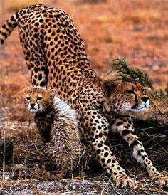 z- Cheetah w Cub