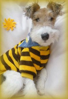 Cute Wire Fox Terrier Boy ♡