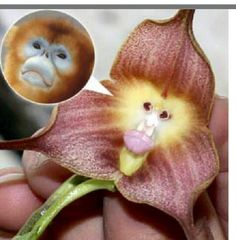 Monkey face orchid Unusual Flowers, Rare Flowers, Beautiful Flowers, Monkey Orchid, Slime Mould, Houseplant, Beautiful Gardens, Outdoor Gardens, Mystery