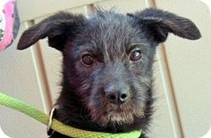 10/9/16 Yardley, PA - Affenpinscher/Labrador Retriever Mix. Meet Dolly Darling B 10 lbs, a puppy for adoption. http://www.adoptapet.com/pet/16783377-yardley-pennsylvania-affenpinscher-mix