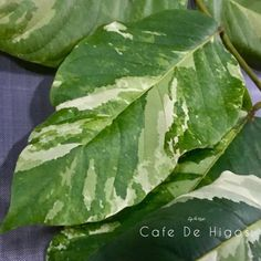 Tropical and Variegated Plants by Cafe De Higos. Variegated Plants, Fiddle Leaf, Plant Leaves, Tropical, Green, Figs