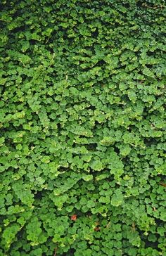 1000 Images About Groundcovers On Pinterest Perennial
