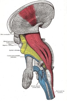 Pyramidal tracts and corticospinal tract