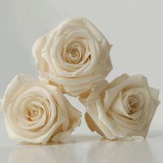 """Preserved Roses Porcelain White 1"""" (12 roses)"""