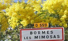 Bormes les Mimosas avant le déluge de janvier 2014 Provence, Port Grimaud, Le Mimosa, French Riviera, South Of France, Acacia, Beautiful Places, Plaque, Gardening