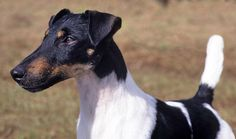Handsome! .smooth fox terrier.