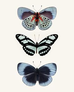 Large Butterfly Art, Blue, Nature Wall Decor 20x24 24x30 or 30x40