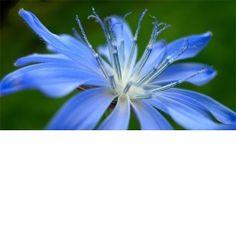 Chicory aiuta gli insicuri aggressivi