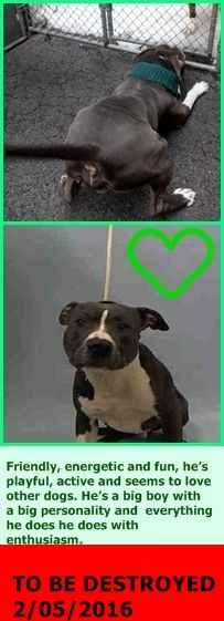 TOTALLY HEARTBREAKING! RETURNED 5/27/16 MOVE2PRIV!! SAFE RTO 2-6-2016 --- Manhattan Center SPALDING – A1063609 **SAFER: AVERAGE HOME** MALE, GRAY / WHITE, PIT BULL MIX, 2 yrs STRAY – STRAY WAIT, NO HOLD Reason STRAY Intake condition EXAM REQ Intake Date 01/25/2016 http://nycdogs.urgentpodr.org/spalding-a1063609/