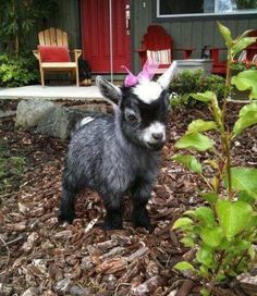 Cute Baby Animals, Farm Animals, Animals And Pets, Funny Animals, Wild Animals, Cute Creatures, Beautiful Creatures, Animals Beautiful, Cute Goats