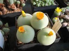 10 Conophytum Calculus Lithops Living Stone Seeds Optica Rare Exotic Mixed Succulent Cactus Cacti Home Garden Decor DIY Plant