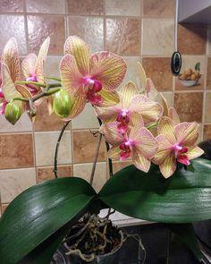 272 отметок «Нравится», 15 комментариев — myflowers (@irina_my_flowers) в Instagram: «Омоложение орхидеи.  Хочу поделиться своим опытом по омоложению орхидеи. 🌱На первом фото орхидея…»