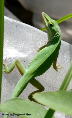 Green Anole so beautiful