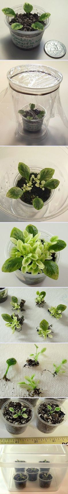 African Violet Propagation.   When I propagate African Violets from leaves, I plant the leaves in the same potting mix that I use for planting my violets.  The container for the leaves should always have holes in the bottom for drainage of excess water.  The leaves are kept moist, but not too wet.  If the leaves are kept very wet, they will rot.