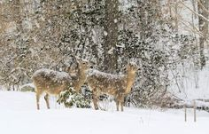 Deer in Snowstorm Photo by Diane Carlson -- National Geographic Your Shot