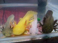 axolotls all colours of the rainbow