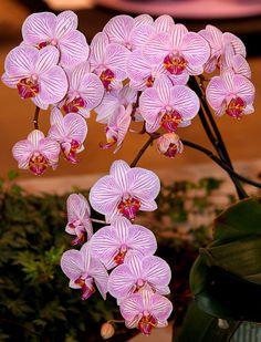 Phalaenopsis Orchid.