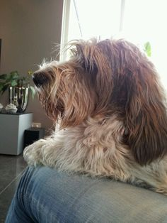 PBGV Duke All Dogs, I Love Dogs, Petit Basset Griffon Vendeen, Cool Pets, Beautiful Dogs, Fern, Brittany, Dachshund, Duke