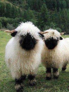 Valaise black nose sheep