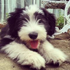 There's nothing cuter than a bearded collie puppy.... This looks identical to crash when he was a puppy. Scary.