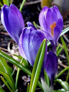 Koivikon Katveessa: Kukkailoittelua koivikon kevätkukkasilla