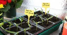 Schon im Januar können Sie erste Gemüse-Arten auf der Fensterbank vorziehen. Ansonsten brauchen jetzt vor allem die Obstbäume ein wenig Pflege.