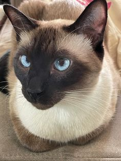 Siamese Dream, Siamese Cats, Cats And Kittens, Baby Animals, Funny Animals, Cute Animals, Adorable Kittens, Cute Cats, Cat Heaven