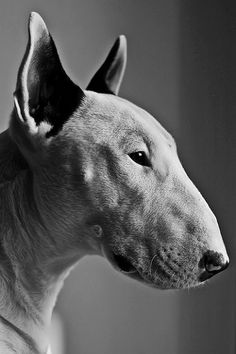 Bull Terriers are tied with Weimaraners for my favorite dog breed right now. <3