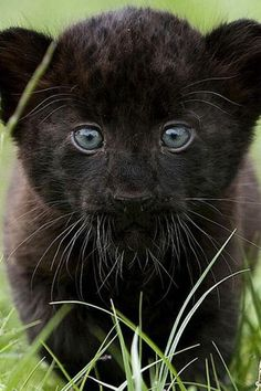 Black panther cub.... Relax with this nature photo. #Relax more with this #free #music with #BinauralBeats that can #heal you. #landscaping #LandscapingIdeas #landscapeDesign